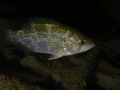A frequently seen fish in fresh waters, this Rock Bass was photographed in the Lower Niagara River on a night dive.