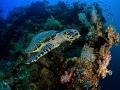 Turtle  Hawksbill   Eretmochelys imbricata_025_Bali_OMD EM1 ii