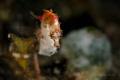 Pontoh s pygmy seahorse  Hippocampus pontohi
