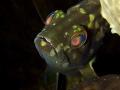 Epinephelus aeneus Juvenile White grouper