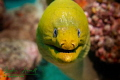 We usually see at least one large green moray eel on each dive.  This guy was particularly interested in checking out my camera.