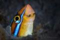 Bluestriped fangblenny (Plagiotremus rhinorhynchos)