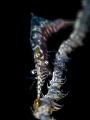 Omnipresent Sawblade Shrimp - Tozeuma armatum Chaloklum, Thailand