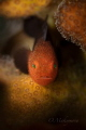 Redhead Stylophora Goby  Paragobiodon echinocephalus