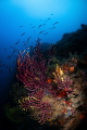 Motion blur of rainbow wrasse swimming over a gorgonian coral head in Tamariu, Spain. September 2020. Taken with Nikon D90, 10.5mm, ISO 200, f/16, 1/25s. Ikelite housing and dual DS51 strobes.