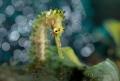 Seahorse (Hippocampus histrix)