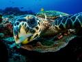 WTF  Hawksbill Turtle   Eretmochelys imbricata Bali  Indonesia
