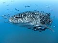 Kind of Blue  Whale Shark   Rhincodon typus  Sail Rock  Thailand