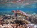 Beautiful sub adult Green Sea Turtle cruising the lagoon at Lady Elliot Island . Taken using the Nikon W300