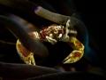 Keep me hangin' on  Anemone Porcelain Crab - Neopetrolisthes maculatus  Bali, Indonesia
