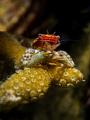 Salvage Porcelain Crab - Porcellanidae sp. Mae Haad, Thailand
