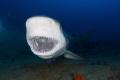bull shark yawning, in Santa Lucia beach , la boca, nuevitas ,cuba. canon 5D mark III,tokina 10-17mm at 10mm,two ikelite subtrobe 125 .