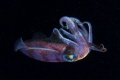 squid,sony A6300.16-50mm Sony Lens at 16mm,two sea & sea flash,Fantasea Housing.Gardens of the queen,cuba,dive site