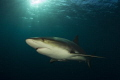caribean reef shark, gardens of the queen, cuba. canon 60D, tokina lens 10-17mm at 10mm, seam housing, two ikelite subtrobeDS125