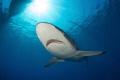 silky shark, gardens of the queen, cuba.nikon D800E, tokina lens 10-17mm at 15mm, two ikelite subtrobe Ds125, aquatica housing.