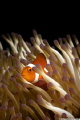 A little orange clownfish in his natural habitat.