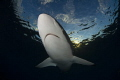 silky shark,nikon D800E,TOKINA lens 10-17mm at 15mm, two ikelite subtrobe DS125, aquatica housing