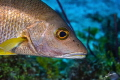 Close-up portrait of one Schoolmaster fish (Lutjanus apodus) made in Cozumel (Mexico) in sommer 2019.  ISO: 400 f:5.0 1/160seg