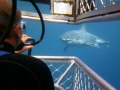 Great White Shark Cage Diving with Calypso Star Charters Hopkins Island SA Dec 2020