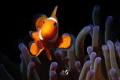 Clownfish with Retra snoot