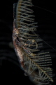 Red-Strip Skeleton shrimp (Protella similis)