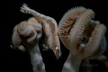 Shrimp Hippolyte tenuicarpus