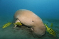 dugong is having lunch