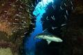 caribean reef shark  Canon 60D  tokina lens 10 17mm at 10mm two ikelite subtrobe DS125  seacam housing.