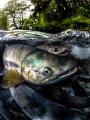 A Chum Salmon migrating to spawn in Juneau  Alaska