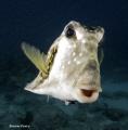 Scrawled Cowfish  Key Largo  Florida