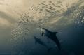 Common dolphins smashing a baitball on the Sardine Run.
