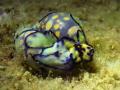 Haminoea cyanomarginata Sweet Love