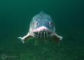 White sturgeon  Acipenser transmontanus  Taken in Jackdaw Quarry  UK.