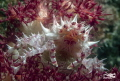 Candy Crab (Hoplophrys oatesi) Also known as Commensal Soft Coral Crab