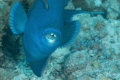 Triggerfish makes attack