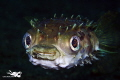 Cyclichthys orbicularis Rounded Porcupinefish.