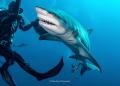 Lemon shark Jupiter  FL