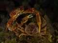 two crab encounter  panasonic lumix GH4  panasonic lens 12 24mm  nauticam housing  two strobe D1