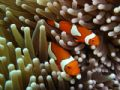 Nemo I am you father - Clown fish on the Great Barrier Reef