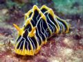 Nudi Great Barrier Reef- Aust