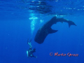 Whaleshark and diver in action