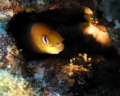 Dwarf Moray taken at Sharks Cove Oahu Hawaii.