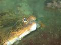 a curious flatfish