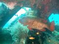 a red snapper at Talima Marine Sanctuary, Lapu-Lapu City, Cebu Philippines