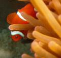 shy nemo @ dakit-dakit marine sanctuary, buyong, maribago, lapu-lapu city, mactan island, philippines