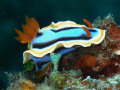 Nudibranch. Puerto Galera, Philippines