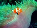 anemone fish @ dakit-dakit marine santuary, buyong, maribago,lapu-lapu city, mactan island, cebu, philippines
