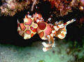 harlequin shrimp @ maribago marine station, lapu-lapu city, cebu, philippines