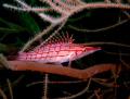 longnose hawk fish @ kontiki wall, maribago, lapu-lapu city, cebu, philippines