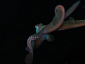 Octopus at night, St. Kitts